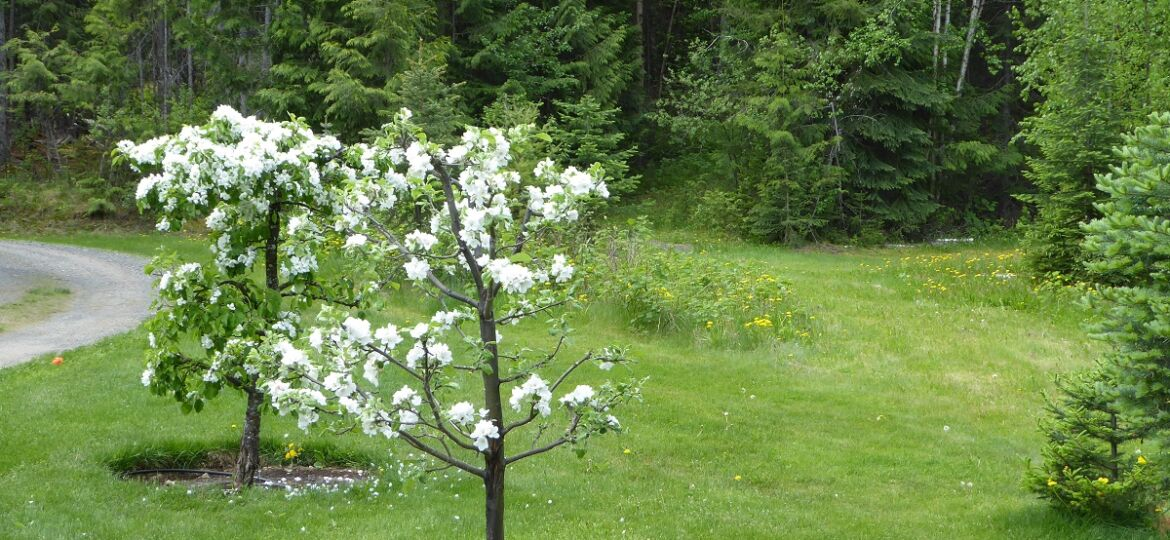 It's apple blossom time